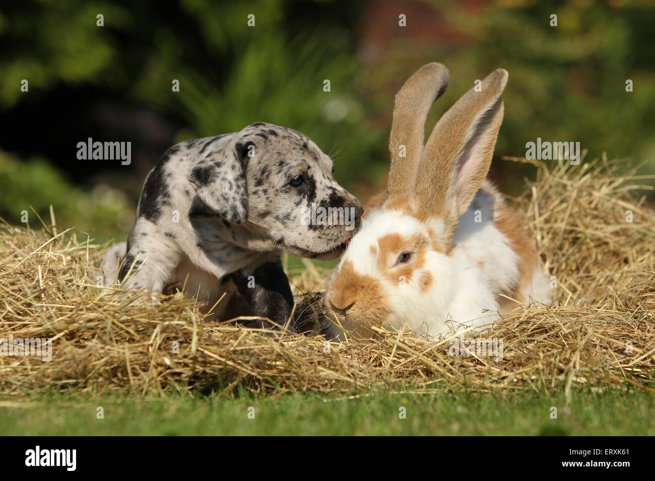 Great Dane Puppy and rabbit - Stock Image