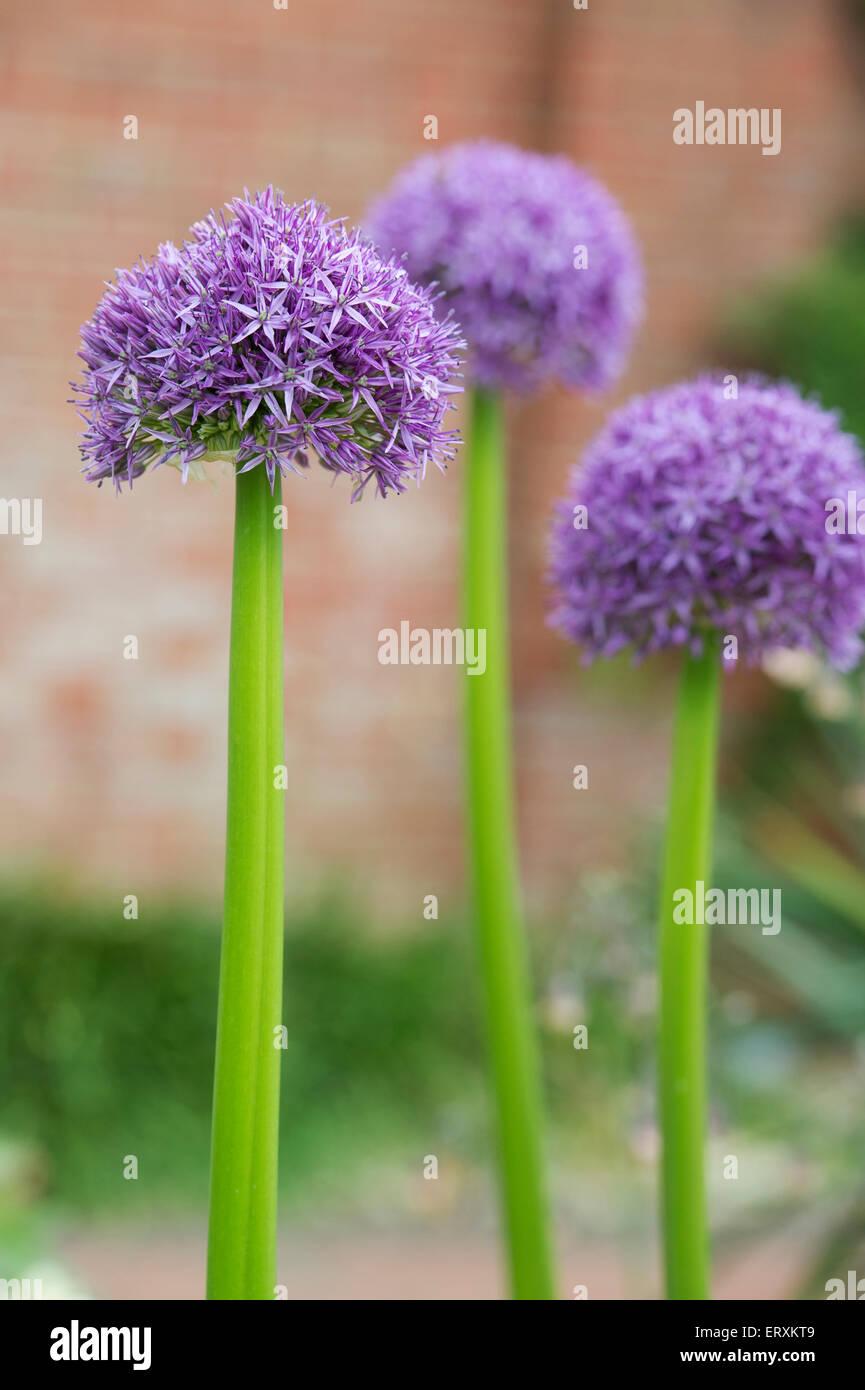 allium globemaster planting instructions