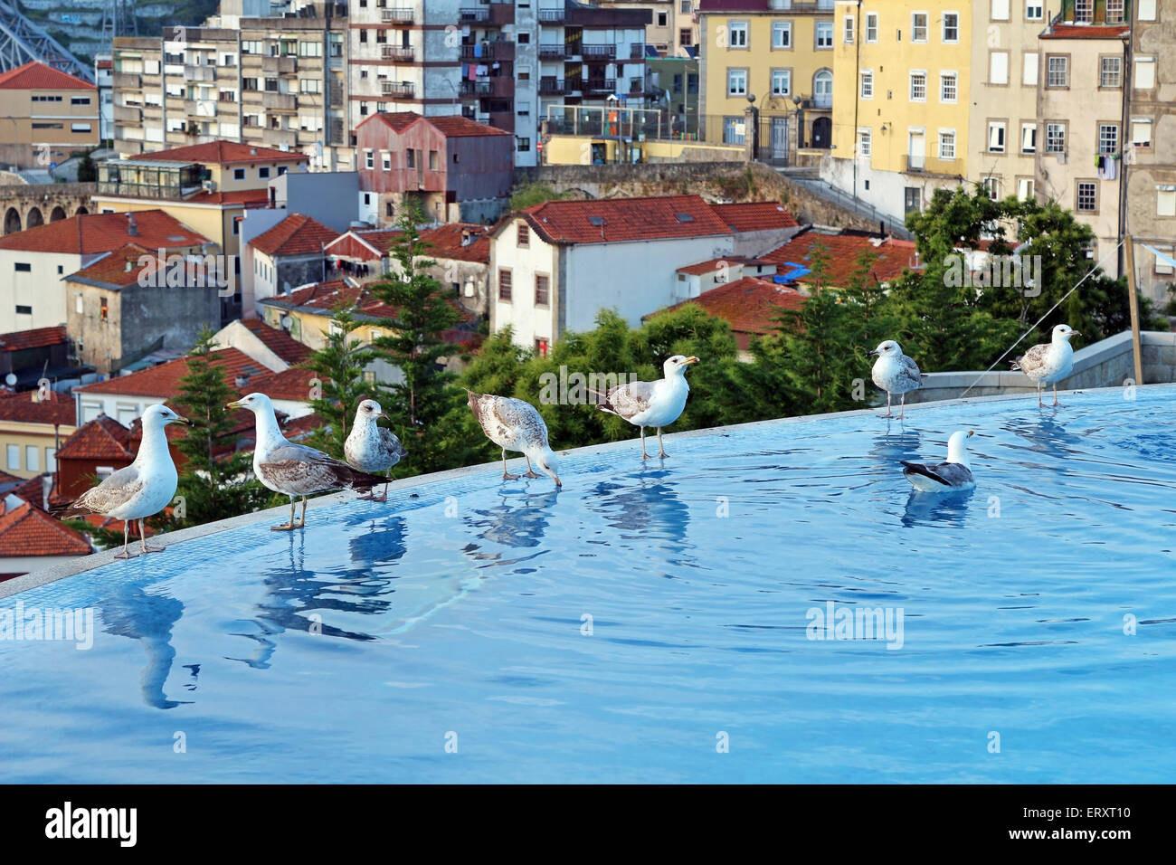 Seagulls drinking from pool in Oporto, Portugal - Stock Image