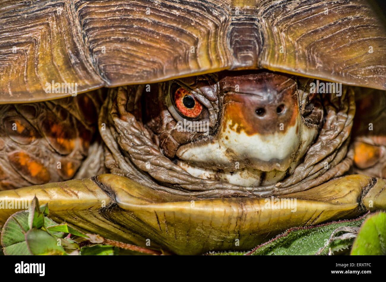 Cautious Turtle - Stock Image