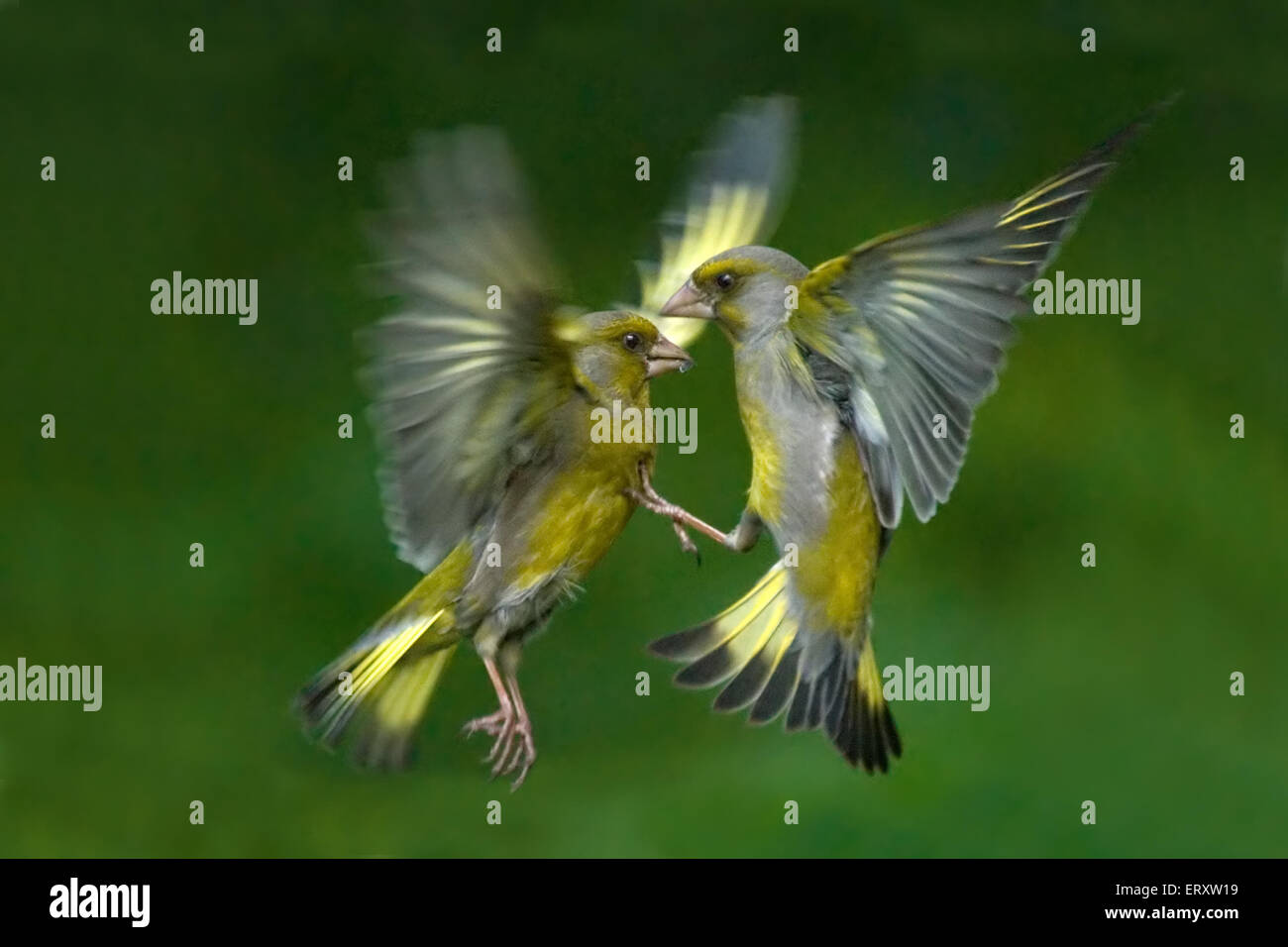 Passerine battle. Greenfinches (Carduelis chloris) fighting in flight - Stock Image