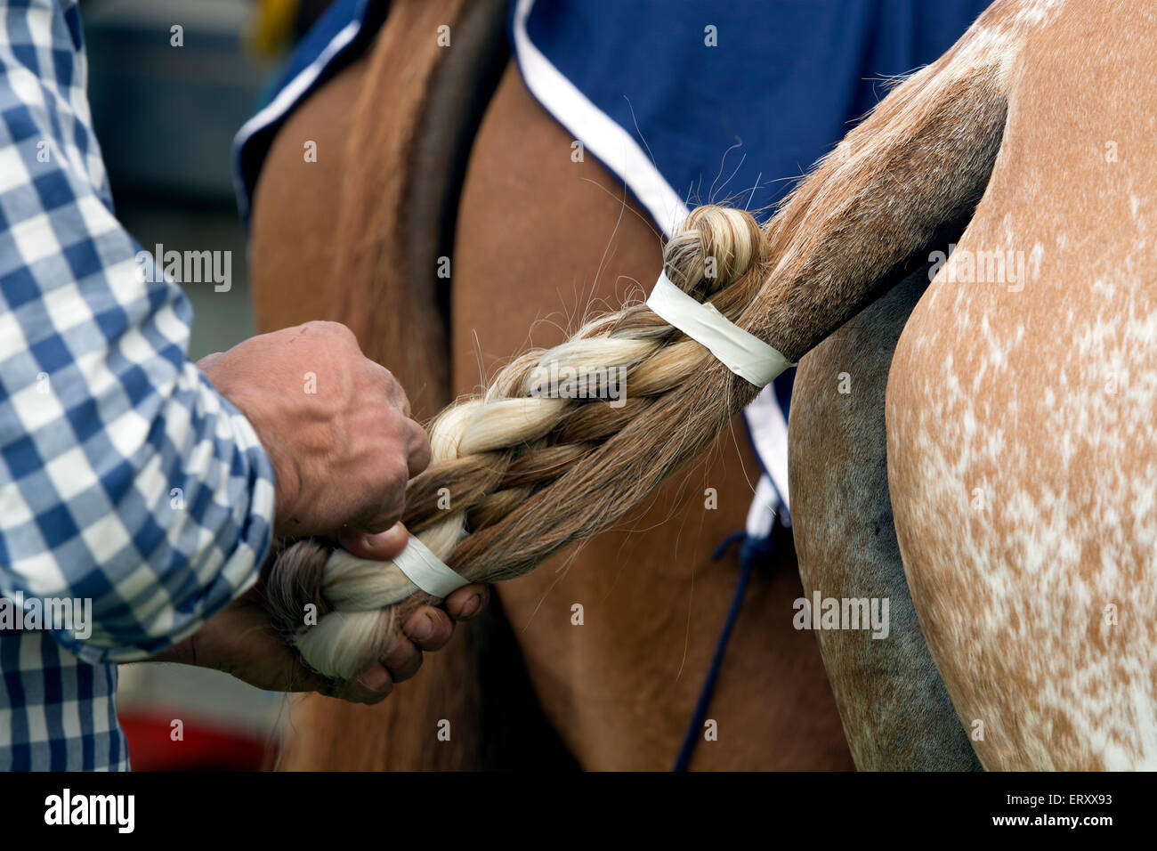 Man taping up a polo pony`s tail - Stock Image