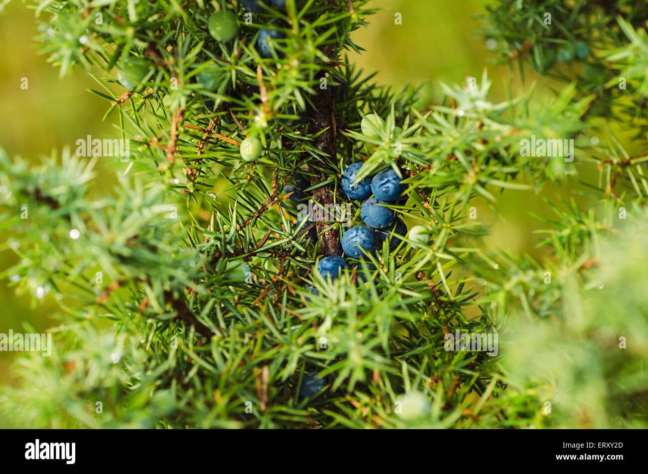 Juniper berries on the tree - Stock Image