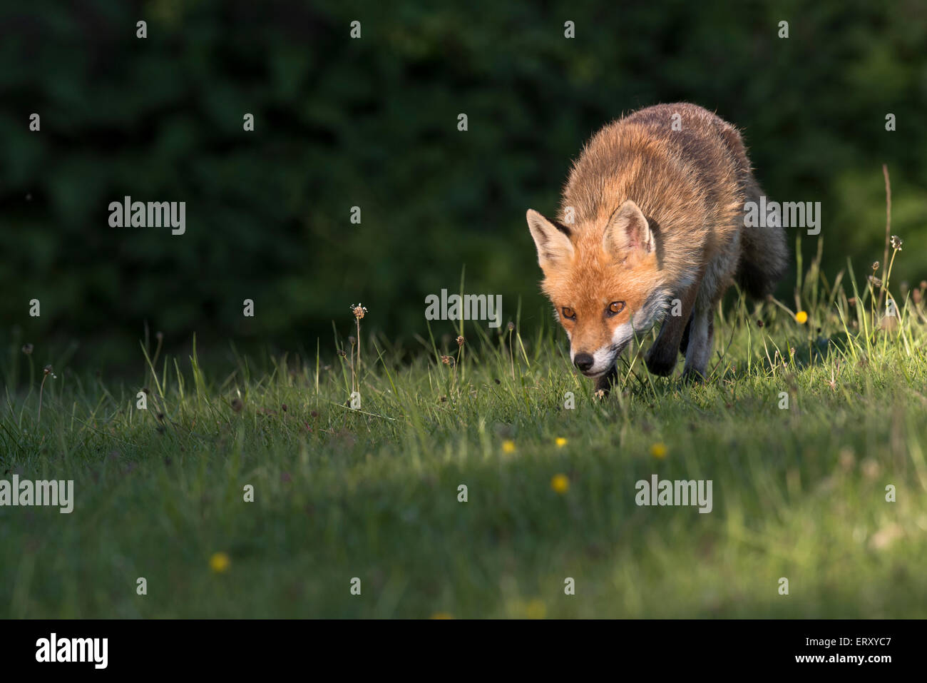 Sandwell Valley Country Park, England, UK, Foxes in Sandwell Valley Country Park,Credit :Christine Wood - Stock Image