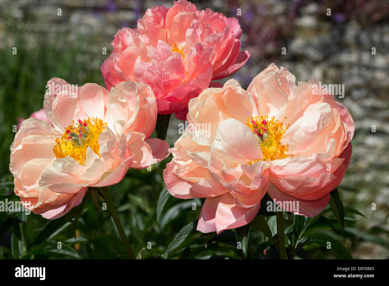Open flowers of the hybrid peony, Paeonia 'Coral Charm' - Stock Image