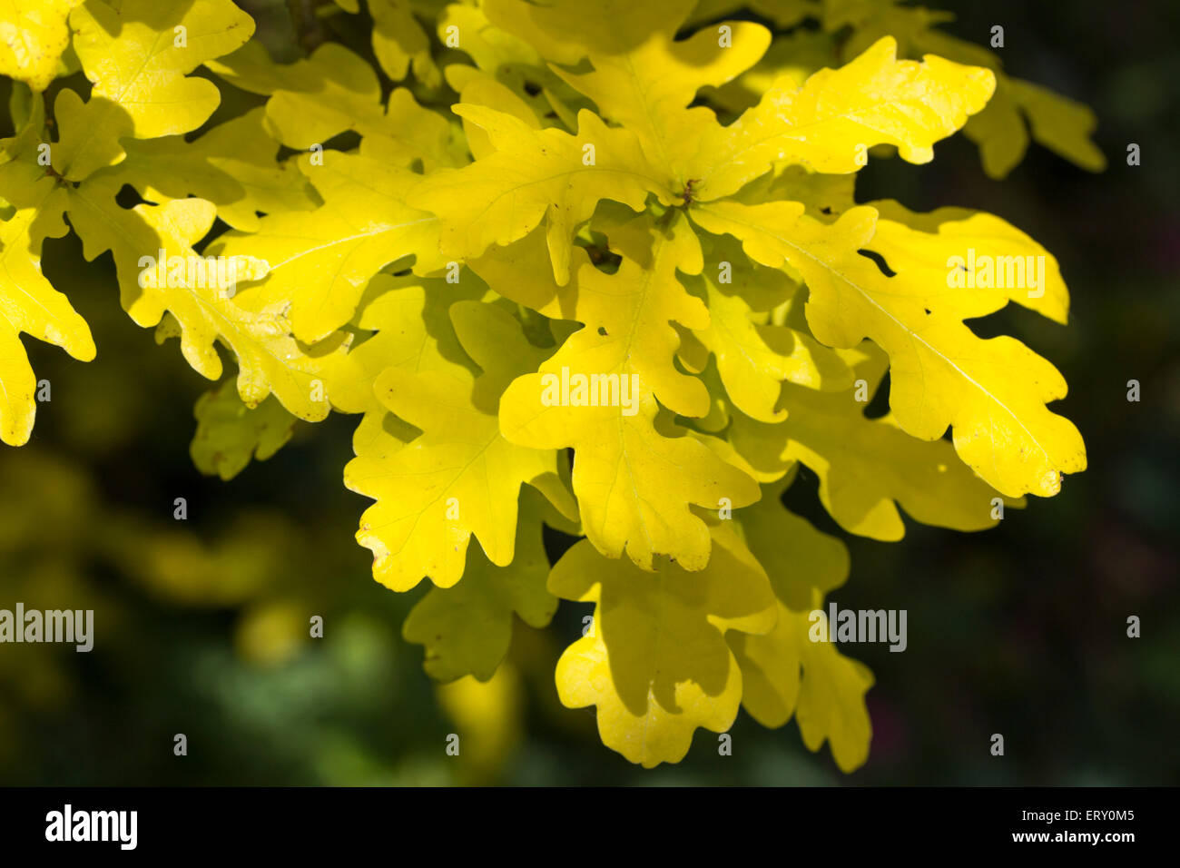 Golden foliage of the slow growing ornamental tree, Quercus robur 'Concordia' - Stock Image