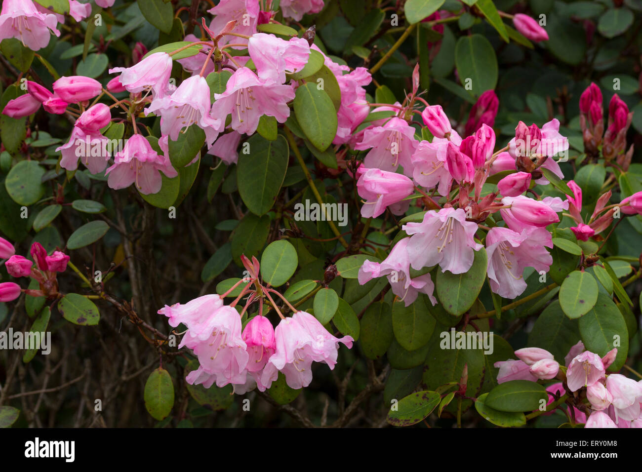 Spring flowers of the small evergreen, Rhododendron 'Bow Bells' - Stock Image