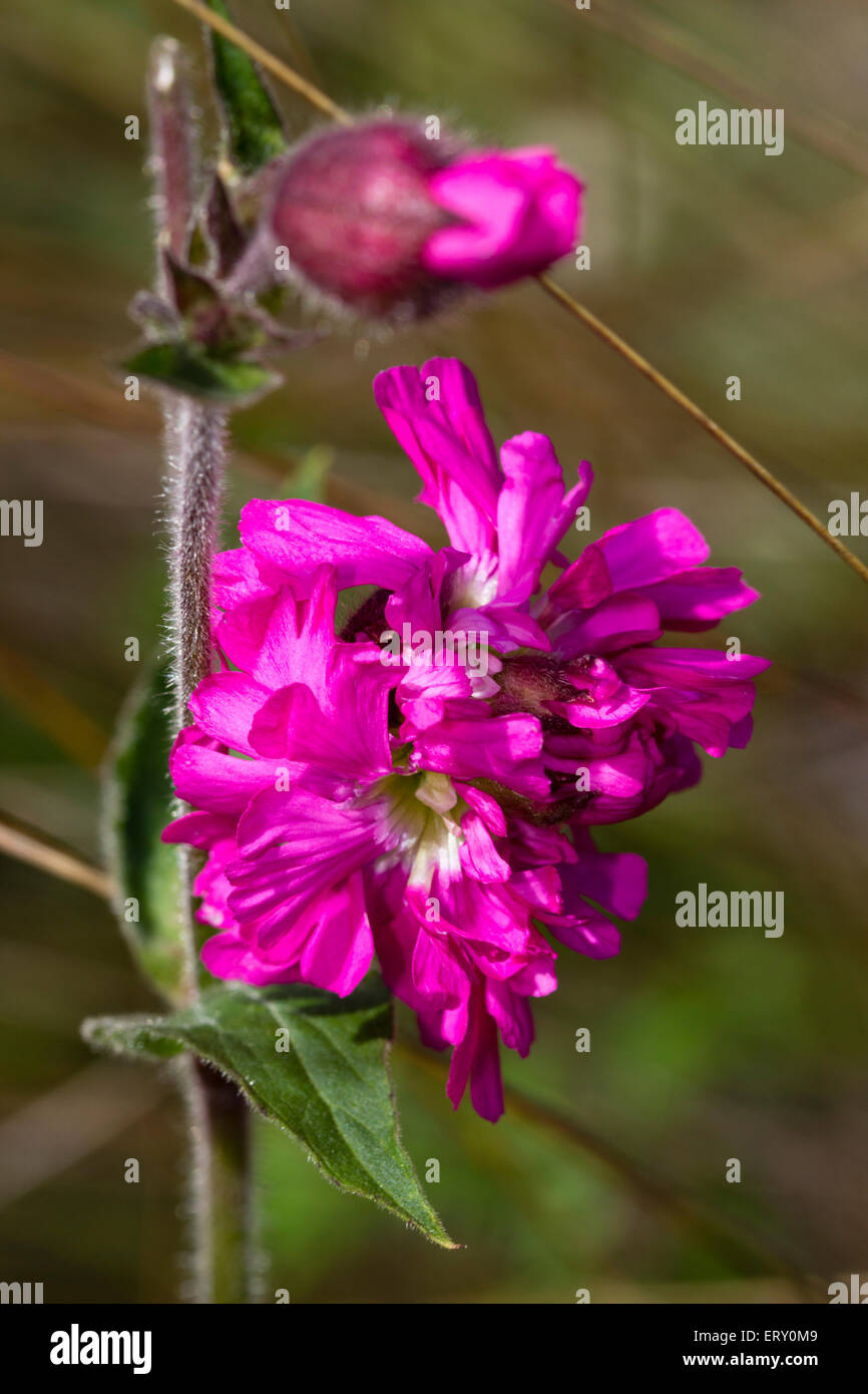 Double flowered form of the red campion, Silene dioica 'Flore Pleno'. Stock Photo