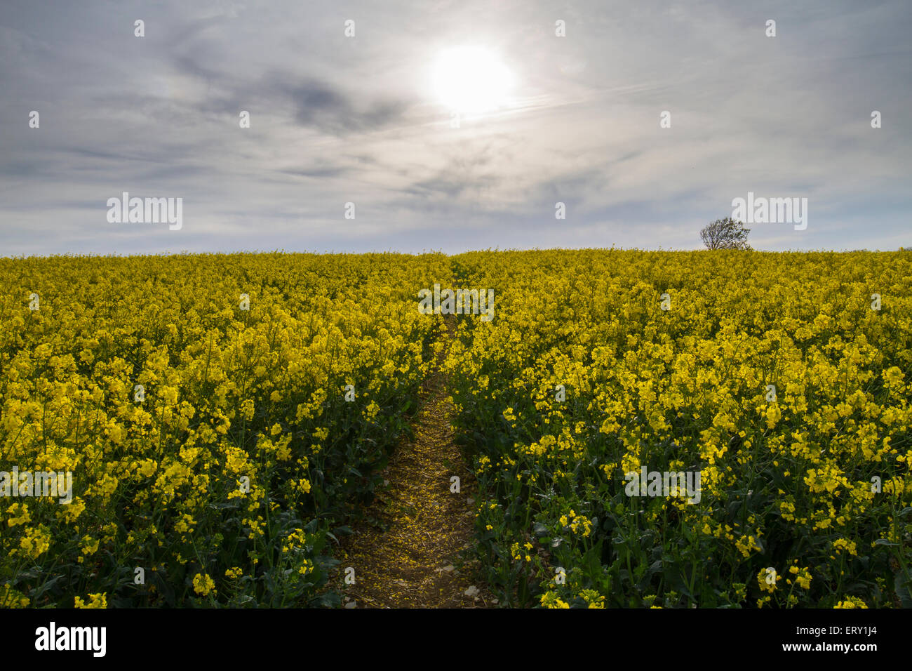 track in rapeseed field heading for evening sun - Stock Image