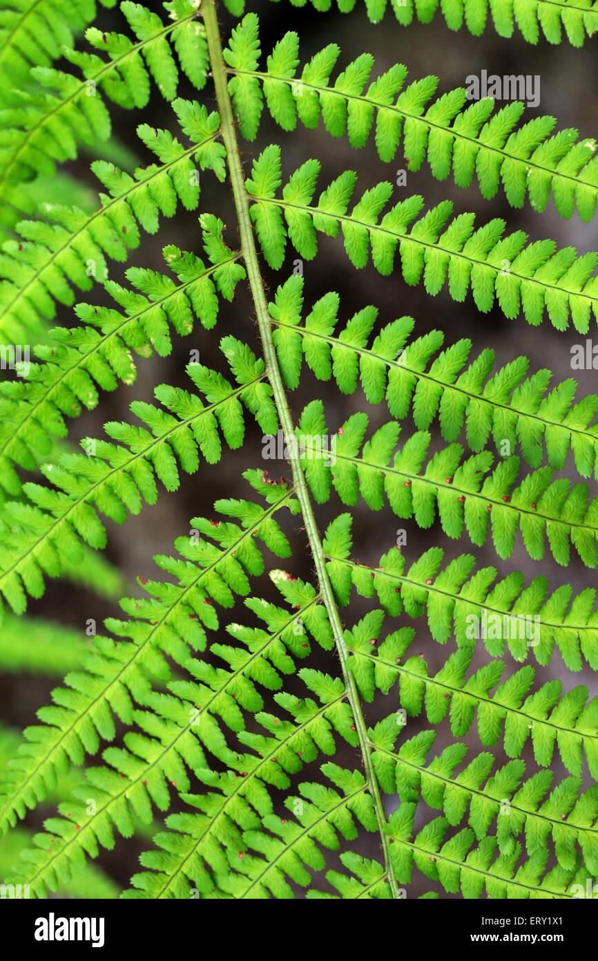 Bracken Leaf, Pteridium aquilinum, Dennstaedtiaceae. Stock Photo