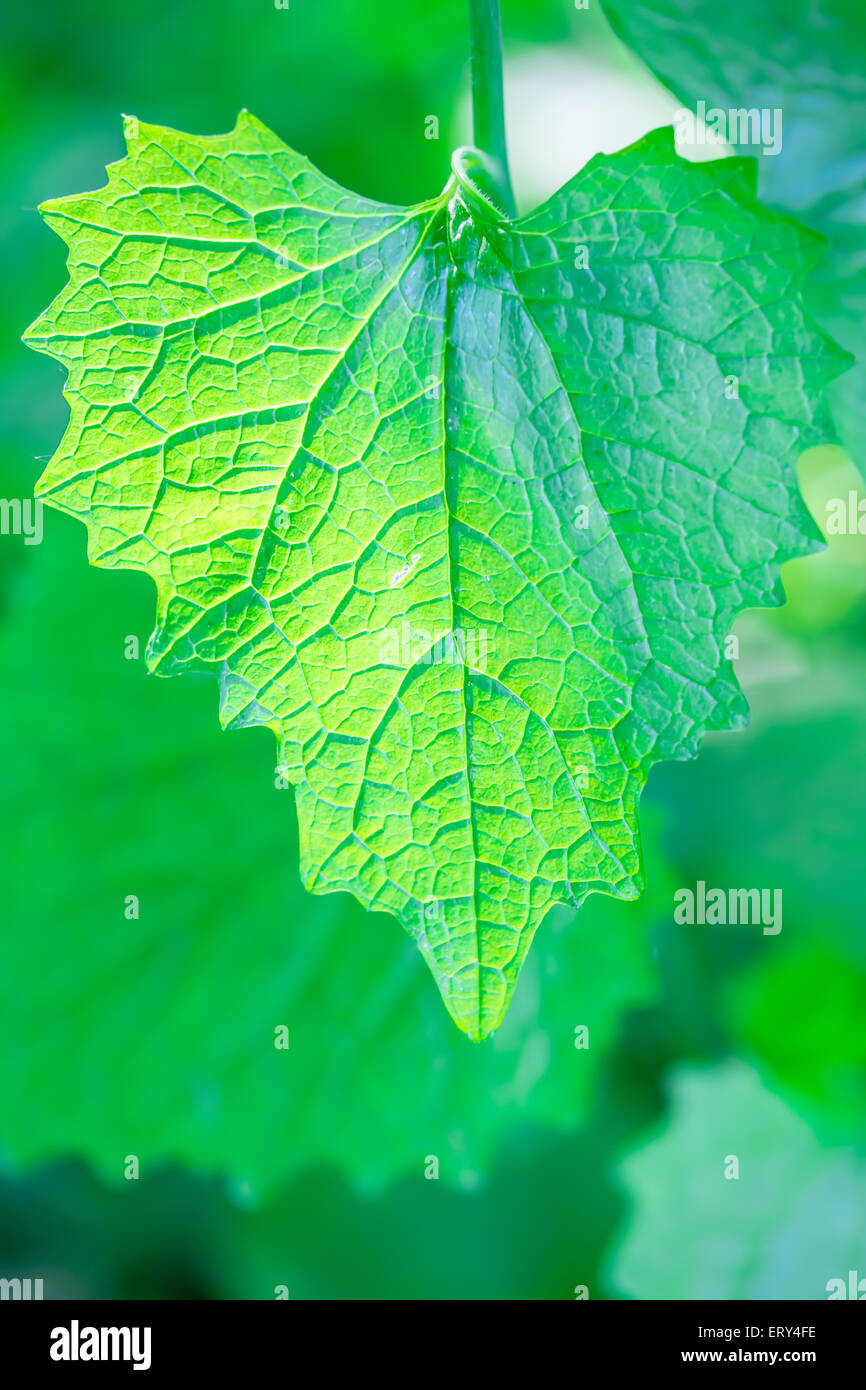 Single Green Leaf with Visible Large Veins with Sunlight in the Background Shining from Behind - Stock Image