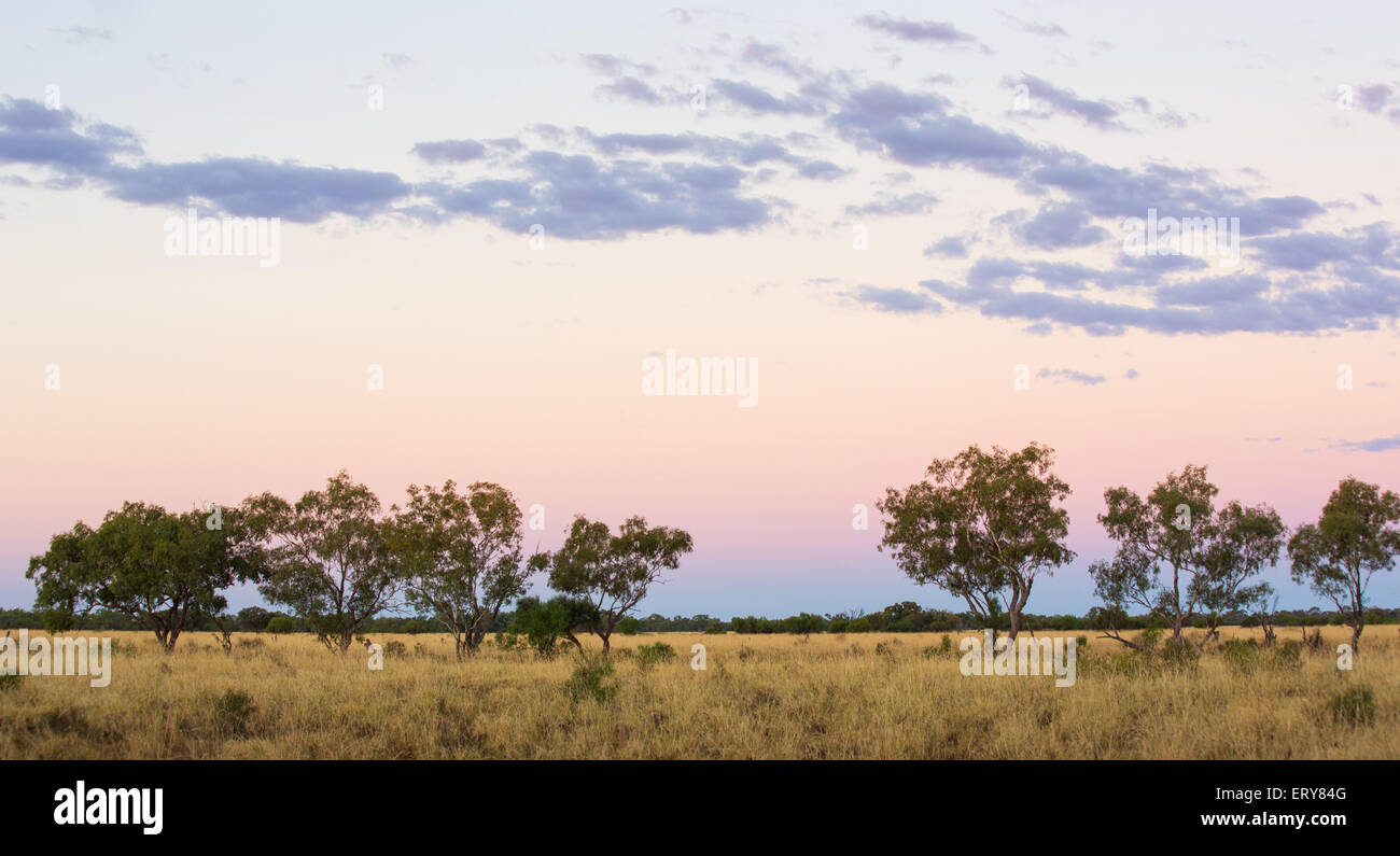 Eucayptus Trees at sunset in the Australian outback, near Longreach, Queensland - Stock Image