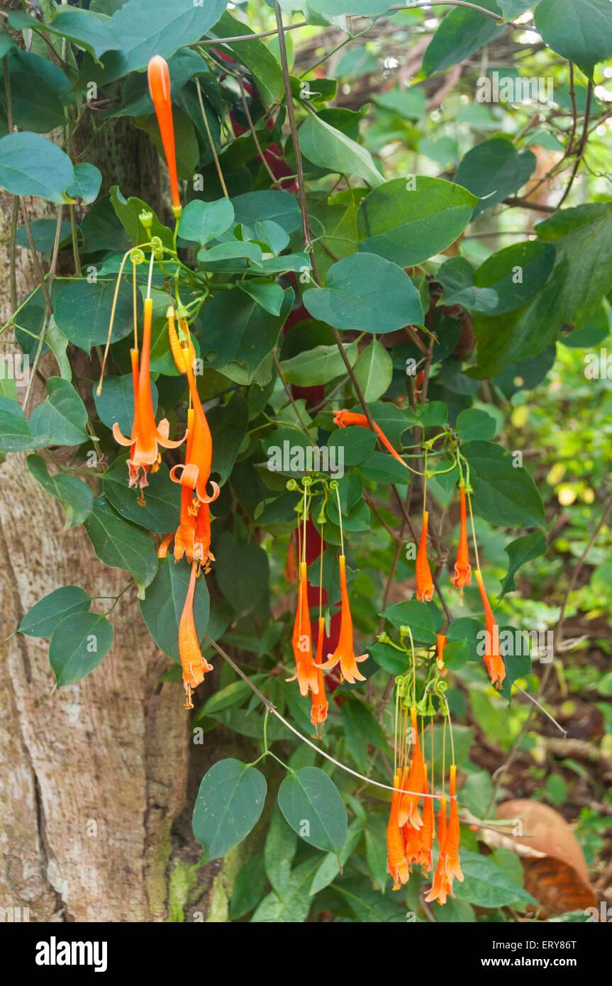 Elk224-2216v Cuba, Valle de Vinales Valley, Vinales town, El Jardin de Caridad, flowers - Stock Image
