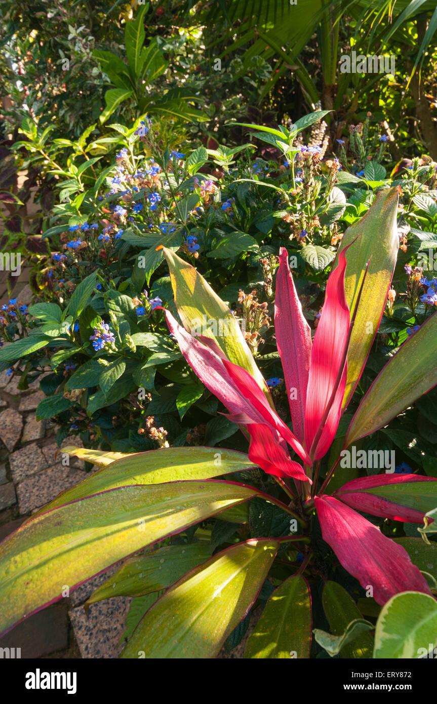 Elk224-2218v Cuba, Valle de Vinales Valley, Vinales town, El Jardin de Caridad, flowers - Stock Image