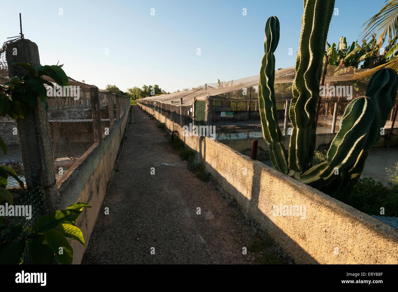 Elk224-3006 Cuba, Boca de Guama, Criadero de Crocodrilos, crocodile farm - Stock Image