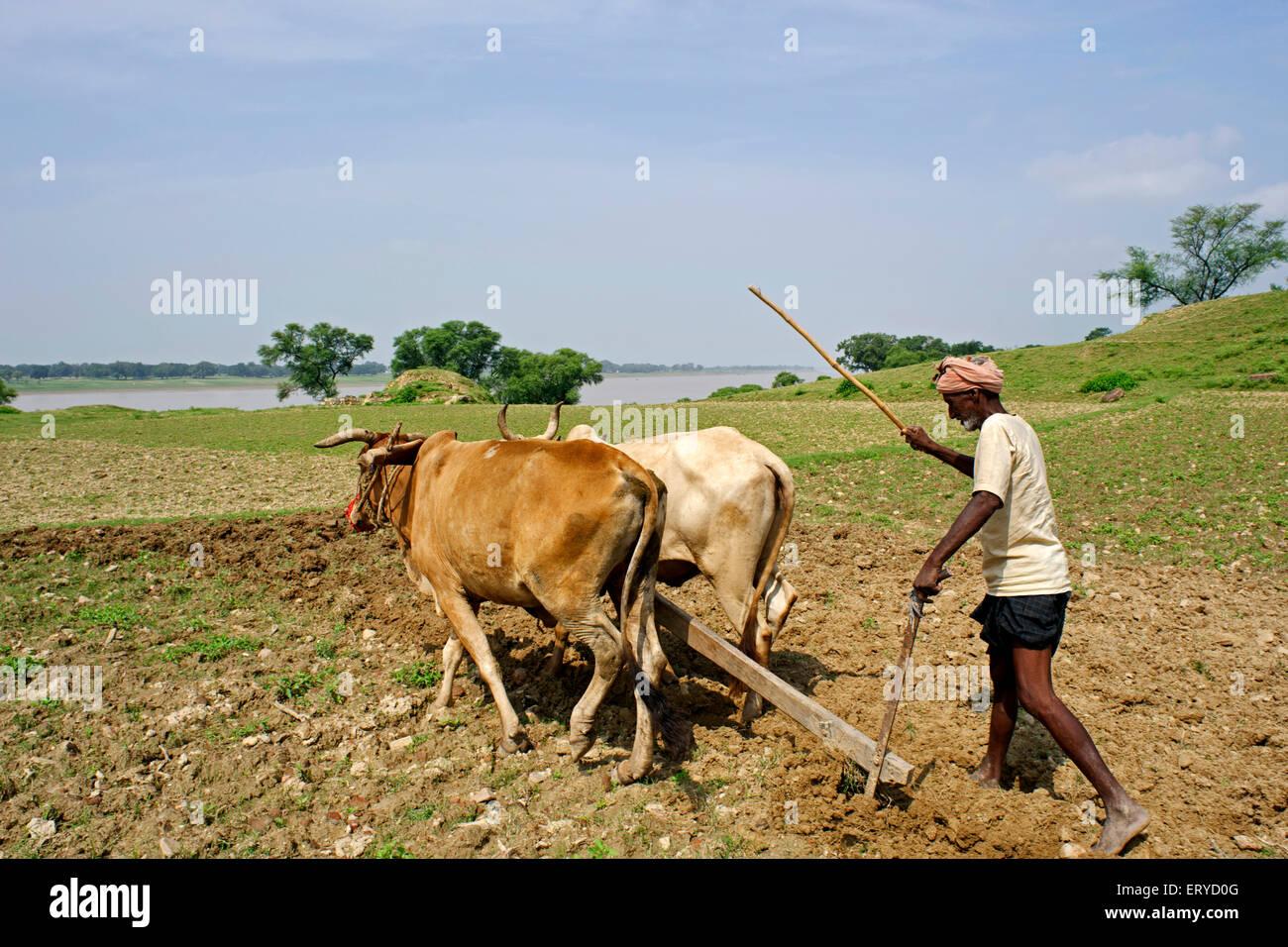 Farmer ploughing land ; Kaushambi 60km from Allahabad ; Uttar Pradesh ; India - Stock Image