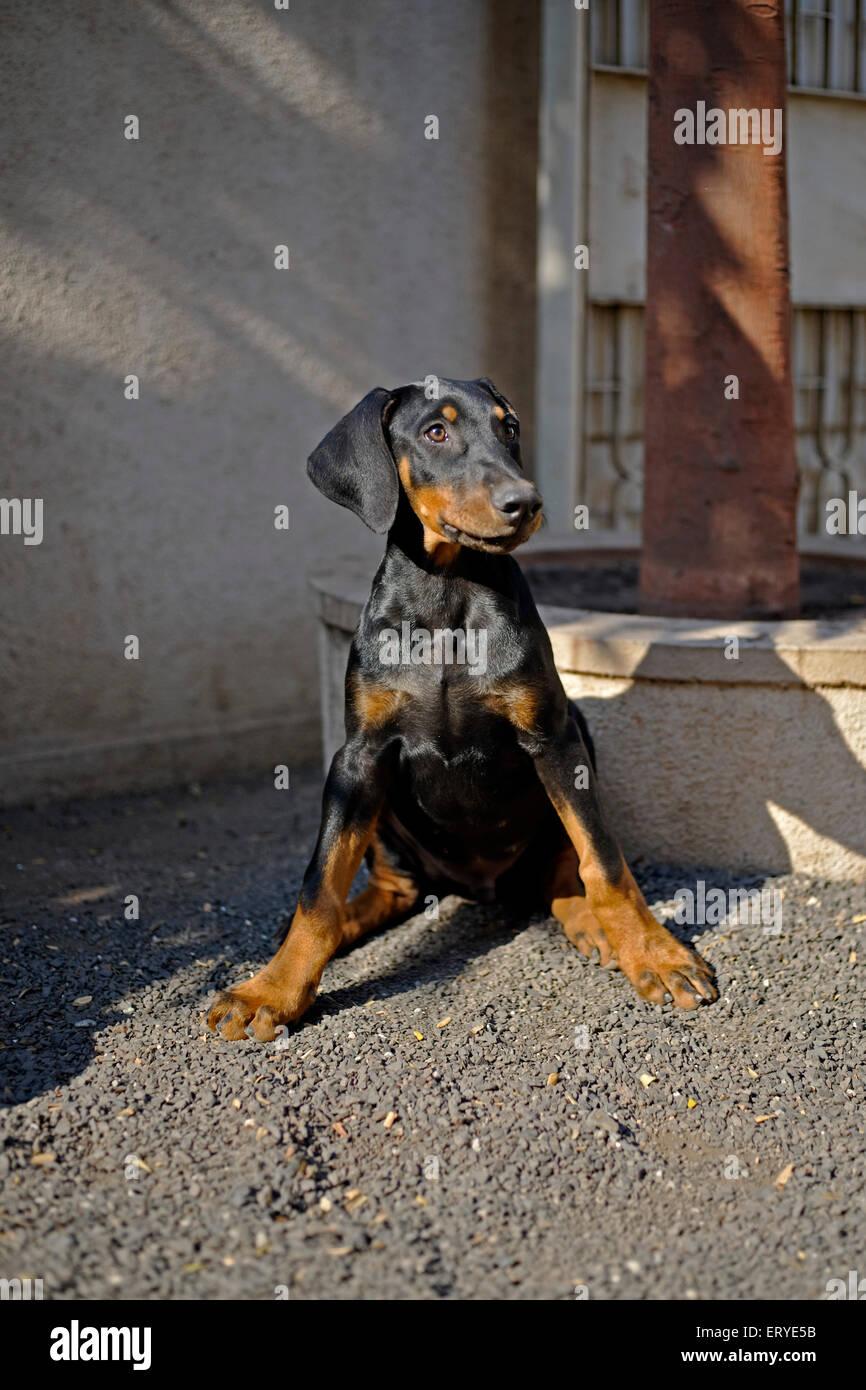 Pets ; puppy Doberman pinscher  ; Rajkot ; Gujarat ; India - Stock Image
