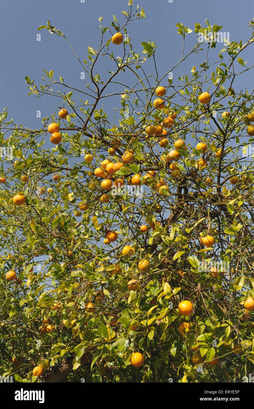 Oranges on tree ; India - Stock Image