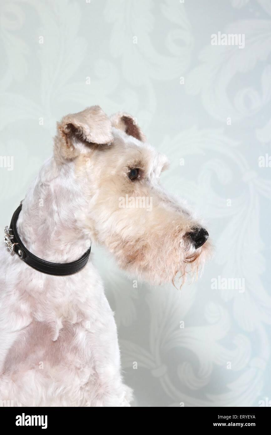 Fox Terrier Portrait Stock Photo: 83583006 - Alamy
