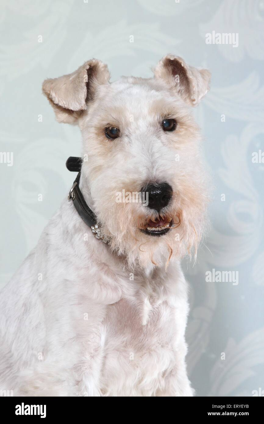 Portrait Of Wire Haired Fox Terrier Stock Photos & Portrait Of Wire ...