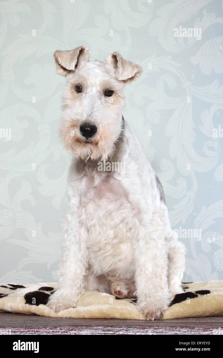Wirehaired Fox Terrier Stock Photos & Wirehaired Fox Terrier Stock ...
