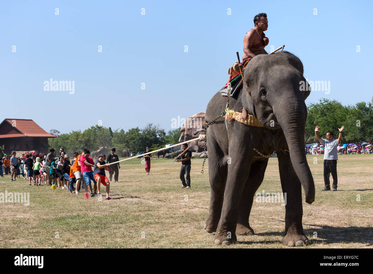 Tug of war with elephant and tourists at the Elephant Festival, Surin Elephant Round-up, Surin Province, Isan, Isaan, - Stock Image
