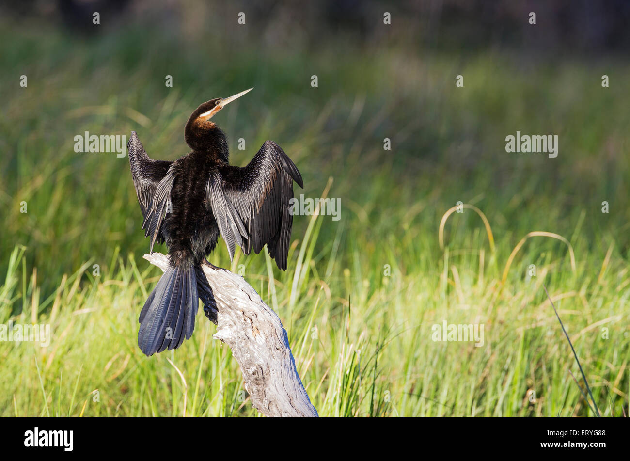 African Darter (Anhinga rufa), basking on a log in order to dry the feathers, Okavango Delta, Moremi Game Reserve, - Stock Image