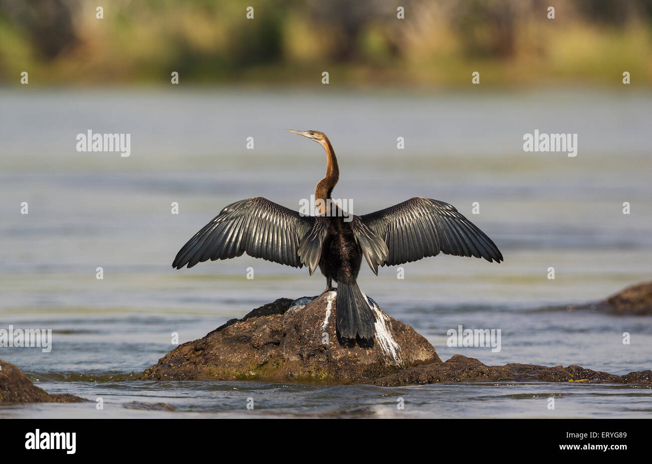 African Darter (Anhinga rufa), basking in order to dry the feathers, on a rock in the Chobe River, Chobe National - Stock Image