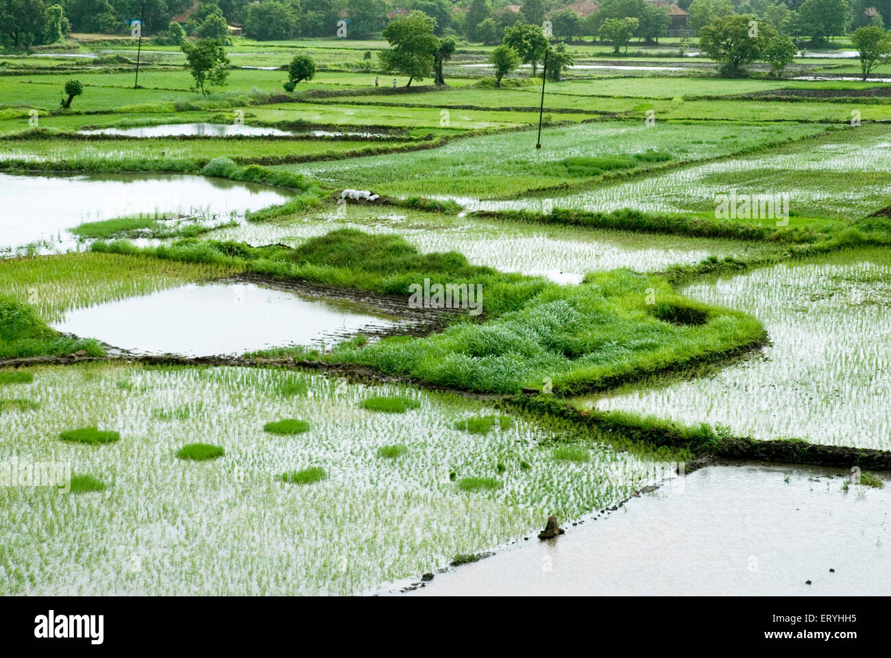 Monsoon and paddy rice fields in chequered pattern ; Raigadh district ; Maharashtra ; India - Stock Image