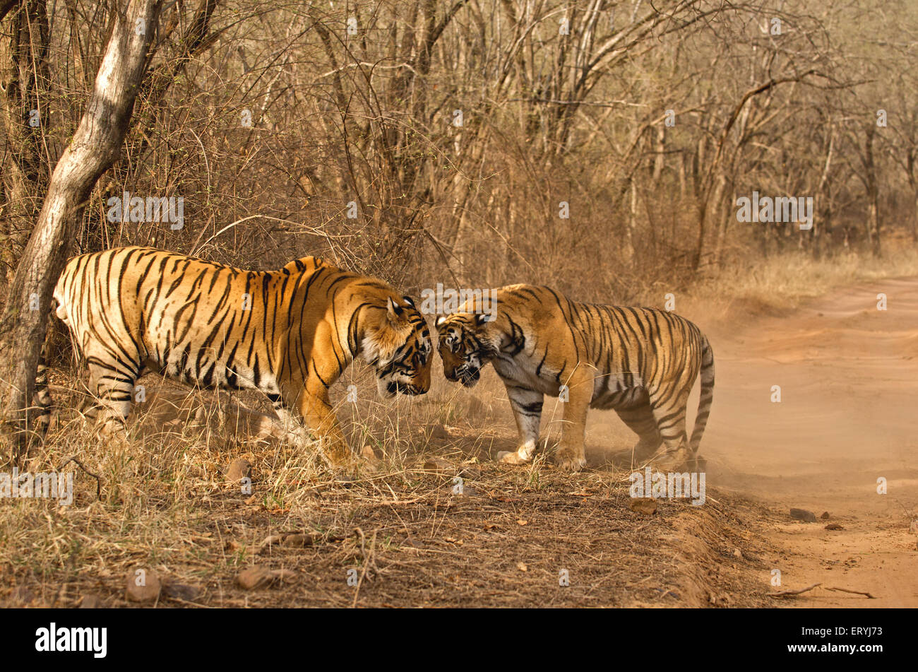 Tigers male and female panthera tigris tigris fighting ; Ranthambore national park ; Rajasthan ; India - Stock Image