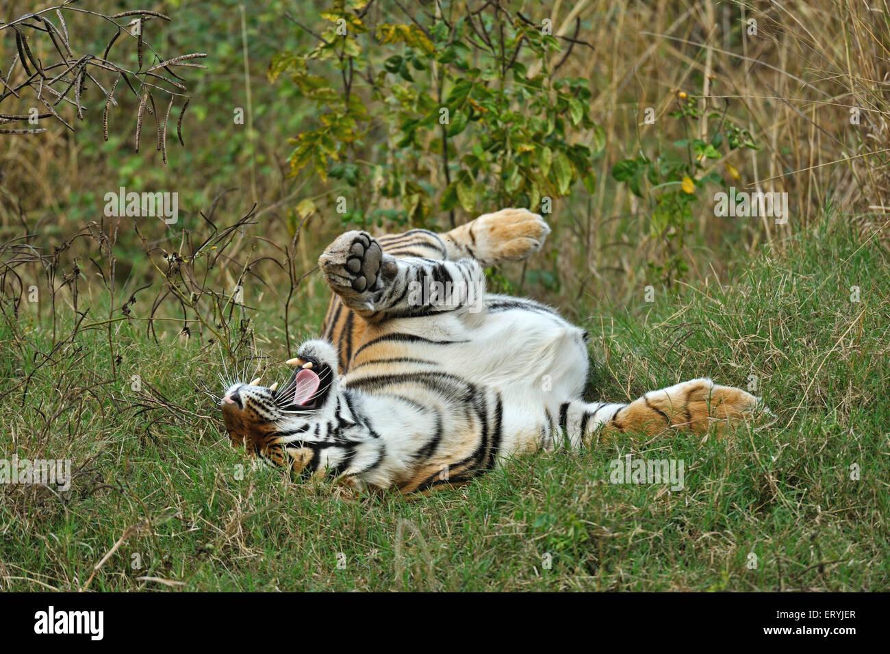 Tiger panthera tigris tigris rolling in grass ; Ranthambore national park ; Rajasthan ; India - Stock Image
