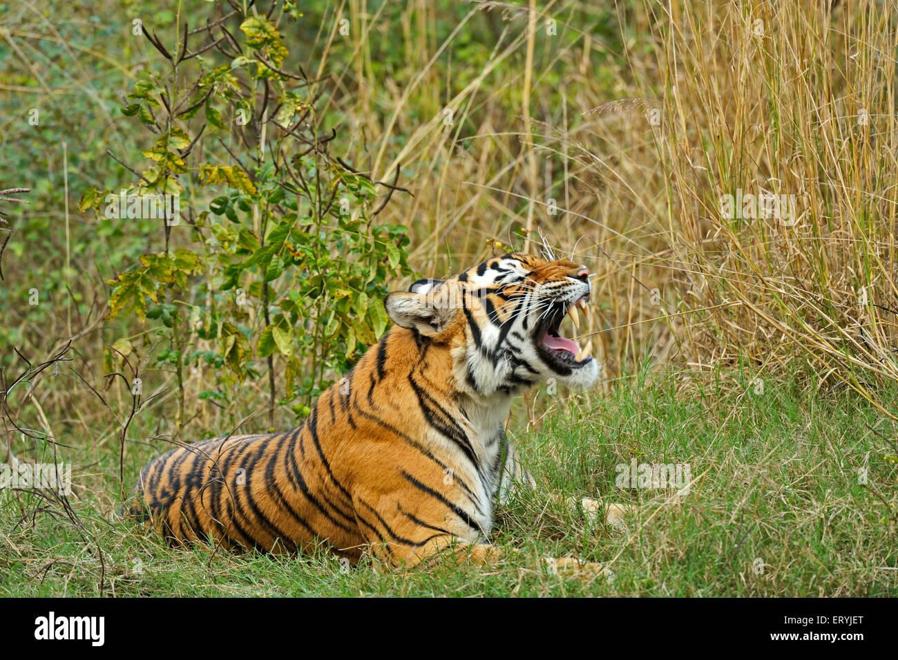Tiger panthera tigris tigris snarling ; Ranthambore national park ; Rajasthan ; India - Stock Image