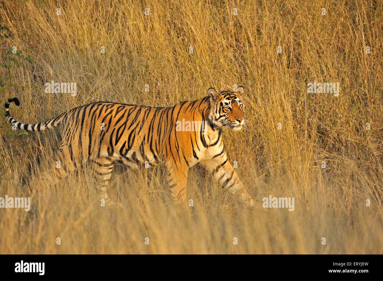 Tiger panthera tigris tigris moving in dry grasses ; Ranthambore national park ; Rajasthan ; India - Stock Image
