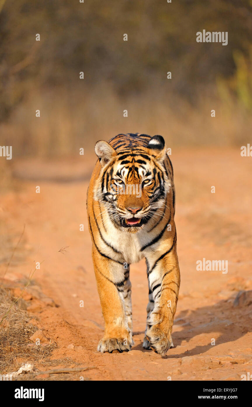 Tiger panthera tigris tigris moving on forest tracks ; Ranthambore national park ; Rajasthan ; India - Stock Image