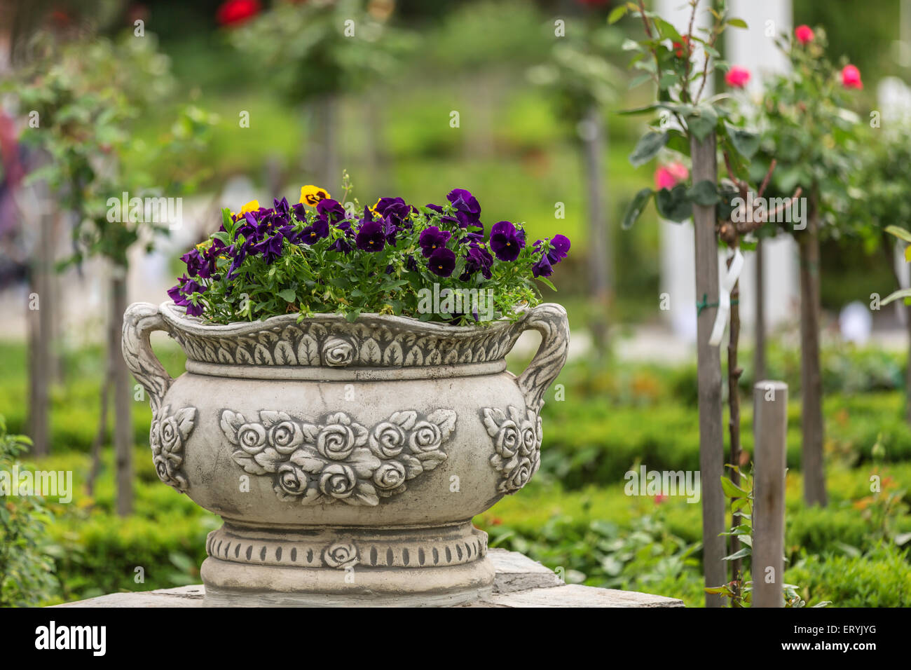 Bunch of pansy in a park with roses on background Stock Photo