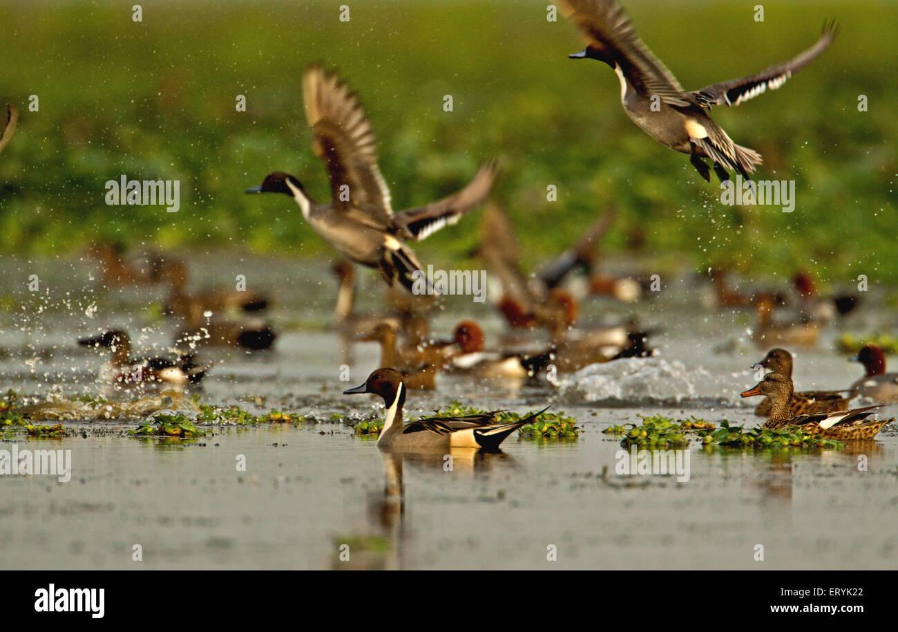 Ducks flying over water ; Magudi wetlands ; Assam ; India - Stock Image