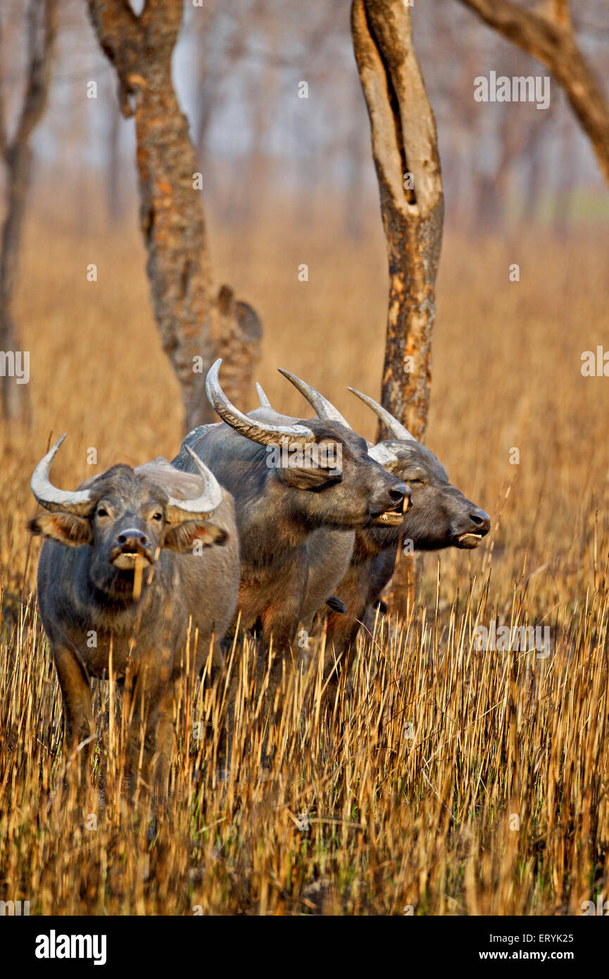 Wild buffalo bubalus arnee in grassland ; Kaziranga national park ; Assam ; India - Stock Image