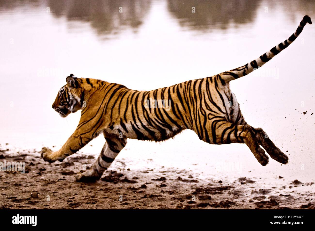 Tiger panthera tigris tigris running in lake ; Ranthambore national park ; Rajasthan ; India Stock Photo