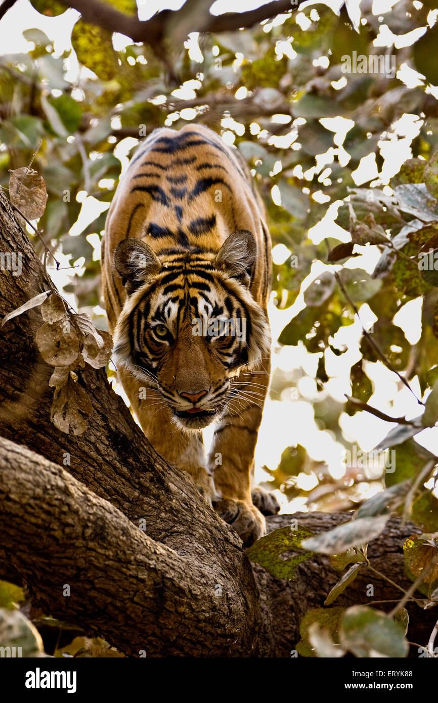Tiger panthera tigris tigris on top of tree ; Ranthambore national park ; Rajasthan ; India - Stock Image