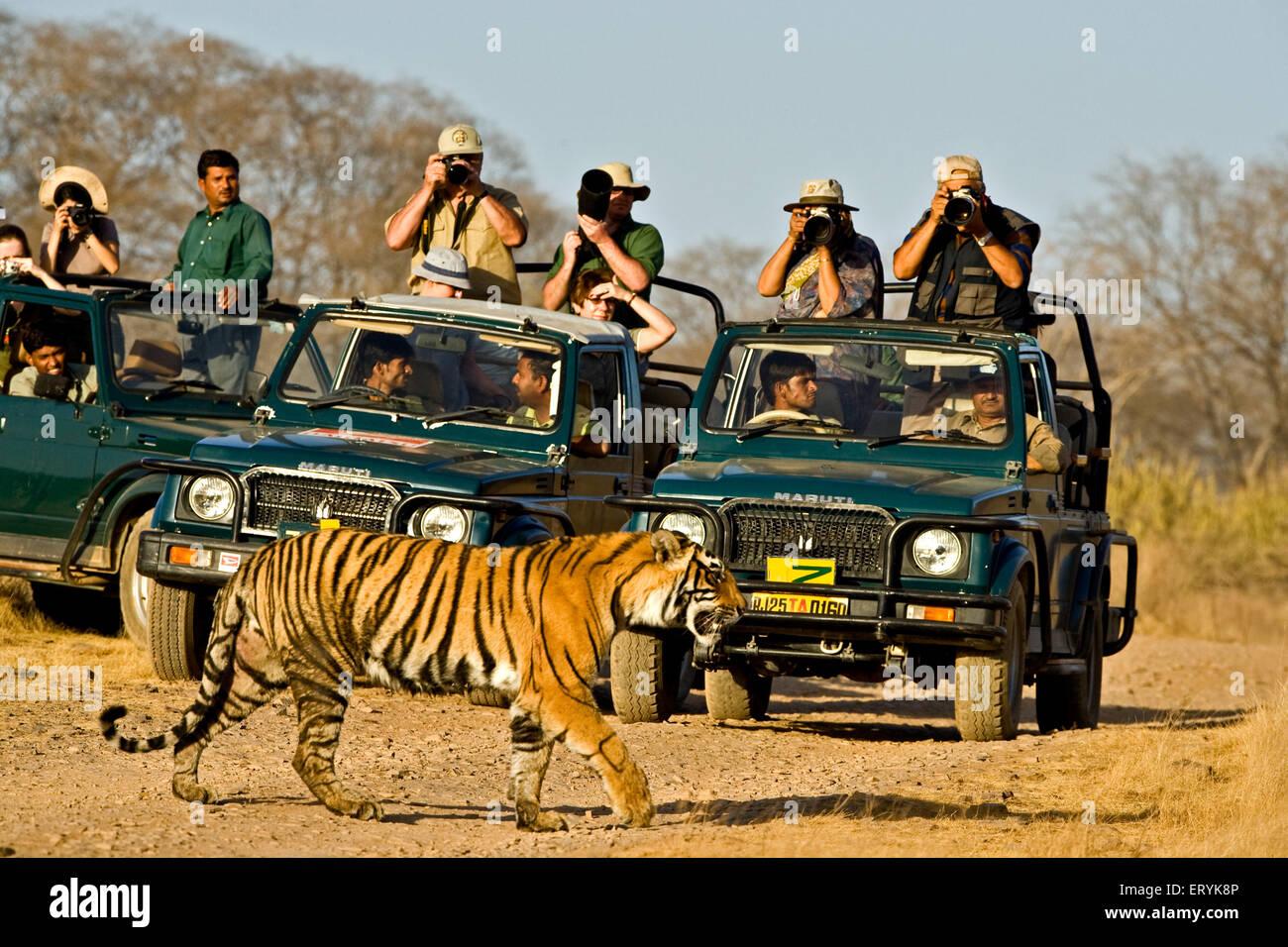 Tourists in cars taking pictures of tiger panthera tigris tigris walking ; Ranthambore national park ; Rajasthan - Stock Image