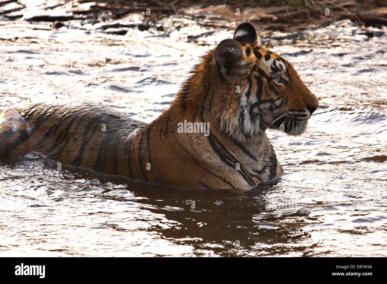 Tiger panthera tigris tigris sitting in waterhole ; Ranthambore national park ; Rajasthan ; India - Stock Image