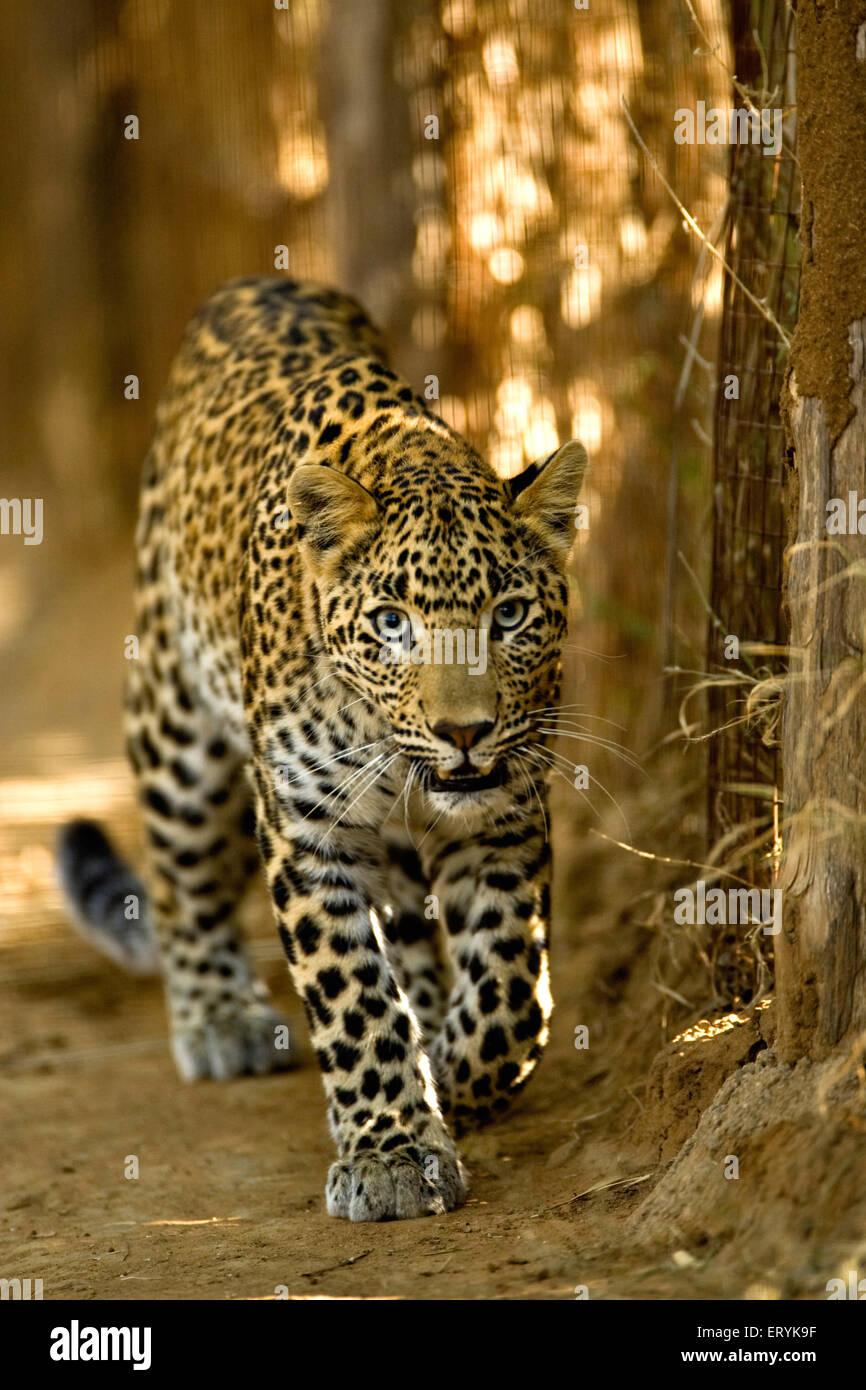 Leopard cub panthera pardus ; Ranthambore National Park; Rajasthan ; India - Stock Image