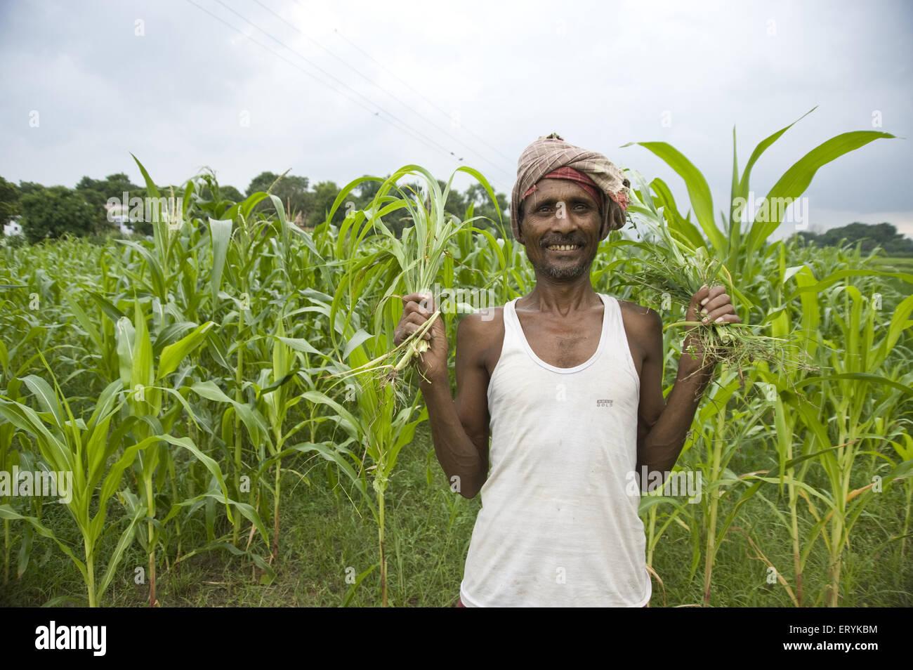farmer in rice field jaunpur at uttar pradesh India  MR#707 H - Stock Image