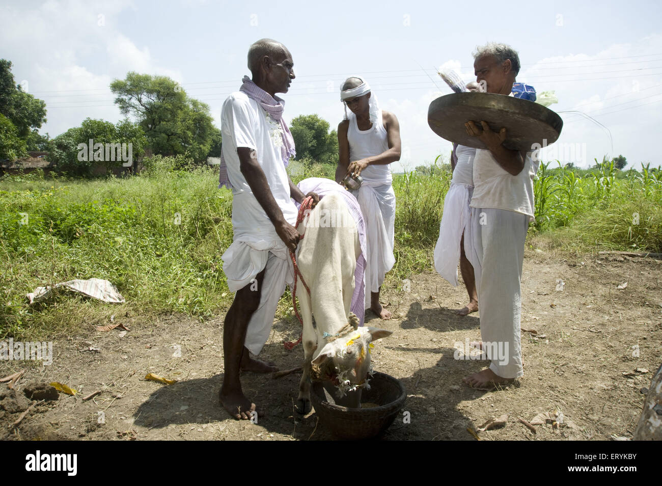 Cow donation ritual ceremony in jaunpur at uttar pradesh India - MR#707h4 - akm 185626 - Stock Image