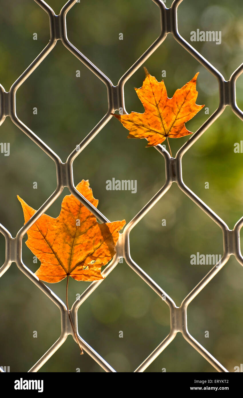 Maple leaves dried and withered in autumn and trapped in window grill - Stock Image