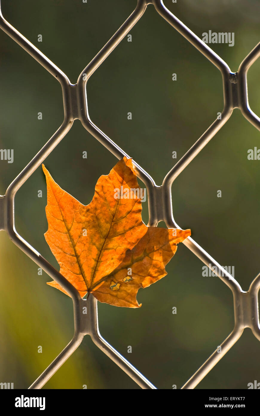 Maple leaf dried and withered in autumn and trapped in window grill - Stock Image