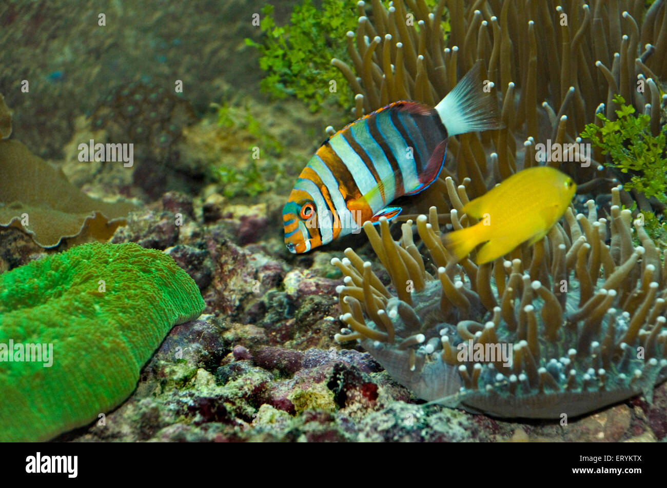 Harlequin tusk fish ; Green Island ; Cairns ; Queensland ; Australia - Stock Image