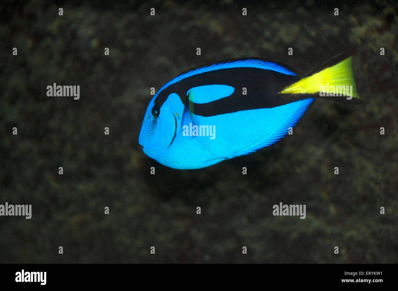 Blue regal tang fish ; Green Island ; Cairns ; Queensland ; Australia - Stock Image