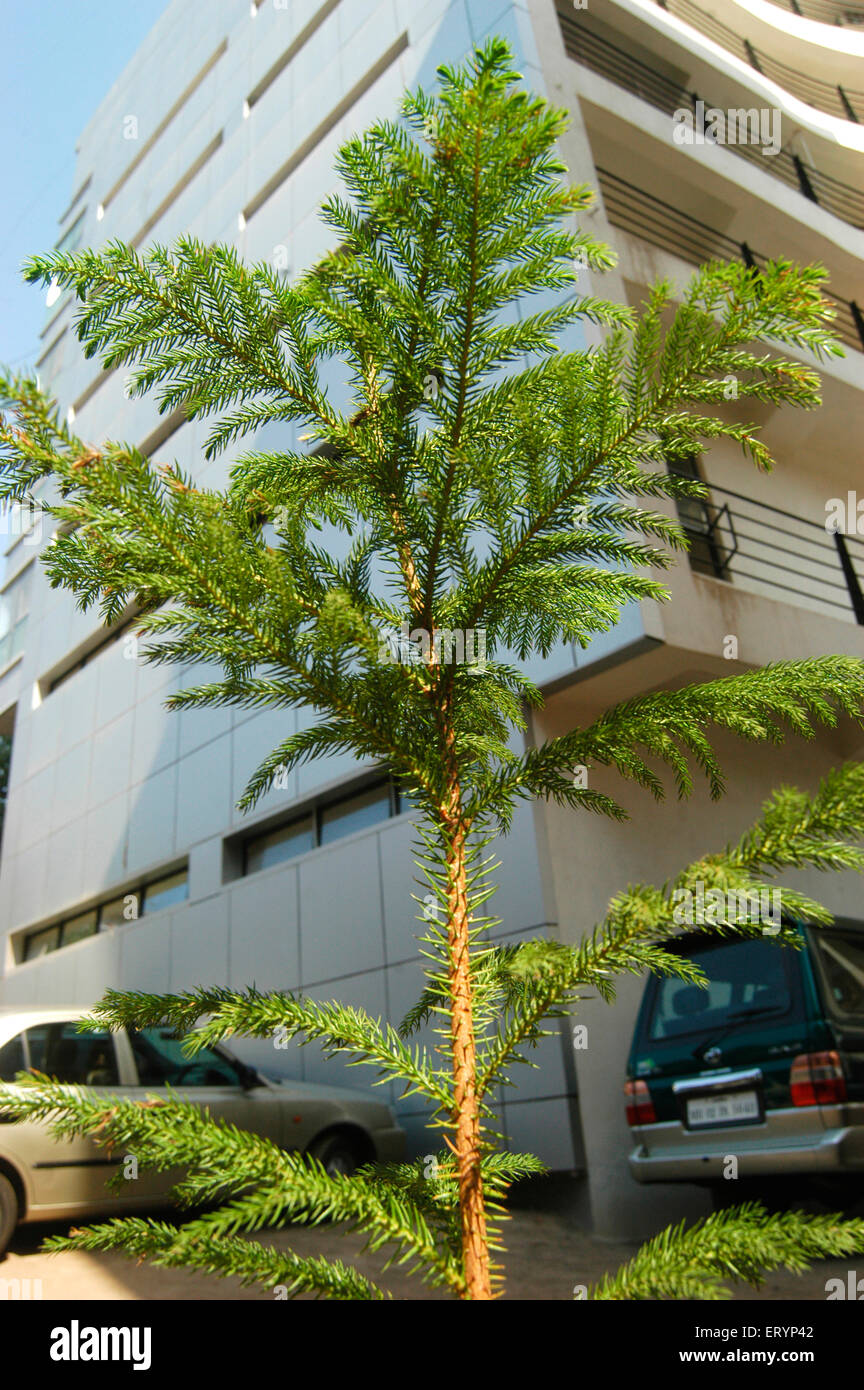 Christmas Tree In India.Christmas Tree For Sale At Bandra In Bombay Mumbai