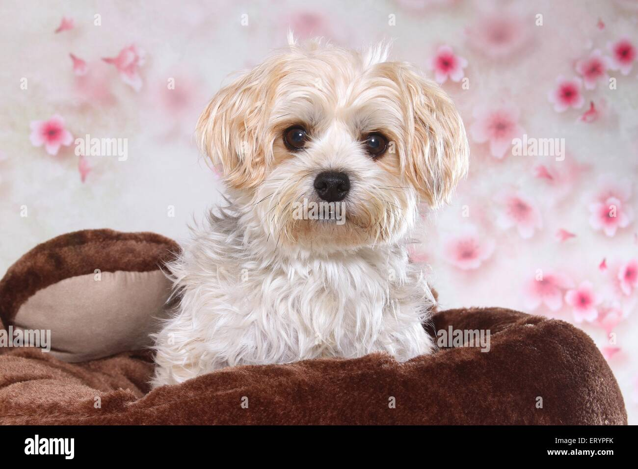 Golddust Yorkshire Terrier Portrait Stock Photo 83588951 Alamy